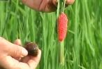 Tuyên Quang: Báo động nạn ốc bươu vàng hại hàng chục ha lúa