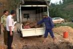 Cục QLTT Lào Cai  tiêu hủy hơn nửa tấn cá tầm nhập lậu