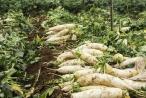 Hà Nội: Nông dân lao đao vì củ cải bán rẻ như cho