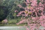 Mai Anh Đào theo mùa xuân về trên cao nguyên Măng Đen khiến vạn người ngẩn ngơ