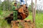Đắk Lắk: Vào vườn quốc gia khai thác gỗ Hương trái phép, 15 đối tượng bị truy tố