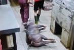 5.000 con heo nghi bị tiêm thuốc an thần trong lò mổ