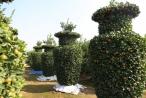 """Hưng Yên: Ngắm nhìn vườn quất hình dáng lộc bình với giá """"khủng"""""""