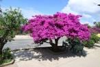 Cận cảnh cây hoa giấy cổ thụ có tuổi đời hơn 1/4 thế kỷ gây 'sốt'