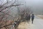 Chợ hoa đào Sa Pa trong giá lạnh 10 độ C