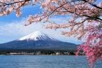 Thời tiết khác thường, hoa anh đào Nhật nở sớm