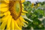 Rực rỡ vườn hoa hướng dương khoe sắc trong nắng đông