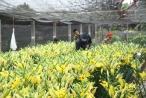 Hà Nội: Hoa Ly nở sớm, người dân Tây Tựu lo không có hàng ngày tết