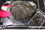 Kết cục buồn của chú rùa nuốt gần 1.000 đồng xu