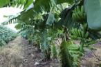 HAGL Agrico rót thêm hơn 1.100 tỷ vào chuối và ớt