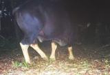 3 cá thể bò tót xuất hiện gần suối nước nóng Bang ở Quảng Bình