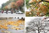 Hà Nội đẹp đến nao lòng mùa cây thay lá