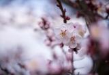 Ngây ngất với sắc hoa anh đào tại Nhật Bản