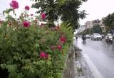 """""""Con đường hoa hồng"""" đầu tiên ở Hà Nội"""