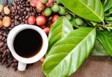 Giá cà phê tăng trở lại nhưng chưa chắc chắn