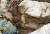 Hà Nam: Báo động tình trạng 'tẩu tán' lợn chết ra môi trường