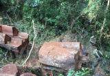 [Photo] Xót xa rừng nghiến cổ thụ bị 'xẻ thịt' không thương tiếc