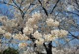 Mãn nhãn ngắm hoa anh đào rực trời Nhật Bản, Hàn Quốc