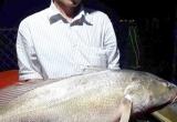 Bắt được cá nghi sủ vàng nặng gần 8 kg