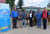 Công ty  sữa Cô gái Hà Lan tặng bò cho nông dân nghèo