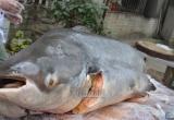 Đại gia Hà Nội xẻ thịt thủy quái 120kg đãi khách ngày tết
