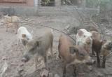 Nuôi lợn trong biệt thự tiền bỏ hoang