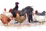 Con gà trong góc nhìn Phật giáo
