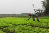 """Quảng Trị: Nông dân xứ rau màu tất bật """"chạy Tết"""""""