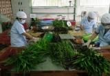 Rau an toàn, VietGAP nghẽn đầu ra, nông dân xin chuyển canh tác truyền thống