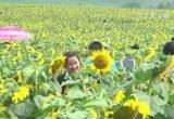 Hàng nghìn người đổ về cánh đồng hoa hướng dương ở Nghệ An
