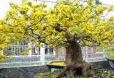 Clip - Chiêm ngưỡng những cây mai cổ thụ 'khủng' để chơi Tết tại TP HCM