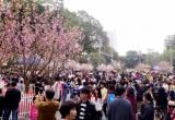 Hơn 7.000 cành anh đào khoe sắc tại Hà Nội