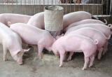 """Thịt heo mất giá: Nhìn vào """"lỗ hổng"""" chuỗi liên kết trong nông nghiệp"""