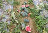 Xót xa nhiều ruộng dưa hấu bị phá nát trong đêm
