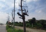 Hà Nội: Hàng loạt cây xanh không còn 'sức sống' trên đường nghìn tỉ