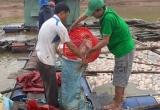 Nguyên nhân ban đầu về hiện tượng cá chết ở hồ thủy điện Plei Krông
