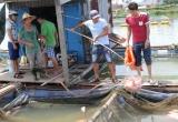 Chưa tìm ra nguyên nhân 60 tấn cá chết trên sông Cổ Cò