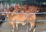 Cận cảnh trại bò 'khủng' đa chủng loại tại Đồng Nai