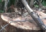 Đắk Lắk: Bắt thêm 6 đối tượng liên quan trong vụ triệt hạ cây thủy tùng trên 500 tuổi