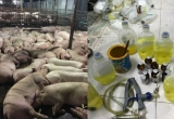 Bản tin Pháp luật Plus: Lỗ hổng quản lý từ câu chuyện gần 4.000 con heo bị tiêm thuốc an thần
