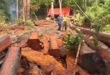 Thời sự ngày 6/12/2017: Phá rừng tại Đắk Lắk