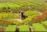Thung lũng hoa Mộc Châu rực rỡ sắc màu, thu hút giới trẻ tới 'check in'