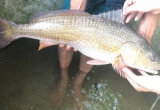 Hà Tĩnh: Ngư dân nghi câu được cá sủ vàng, được trả hơn 400 triệu nhưng không bán