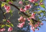 Gần 10.000 cành và 50 cây hoa anh đào từ Nhật Bản đã về đến Hà Nội