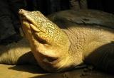 Rùa ở Sơn Tây có cùng giống rùa Hoàn Kiếm?