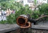 Tận dụng mưa bão, kẻ gian cưa trộm cây Sưa đỏ trên phố Phan Kế Bính