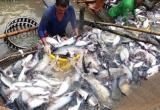 Slide - Điểm tin thị trường: Xuất khẩu cá tra vào EU tăng trở lại