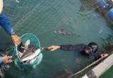 Quảng Ngãi: Cá nuôi của ngư dân chết hàng loạt