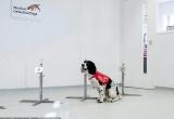 Chó phát hiện sốt rét chính xác tới 70%