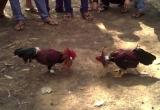 Phát hiện nhóm người tham gia cá cược bằng hình thức đá gà